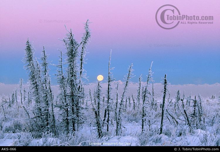 Alaska Winter Trees