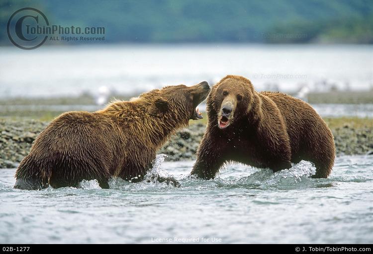 Brown Bears Fighting