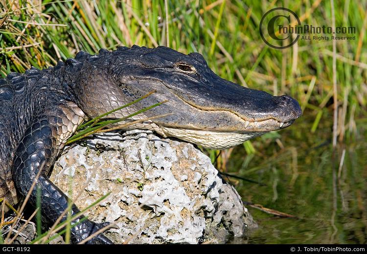 Alligator Basking