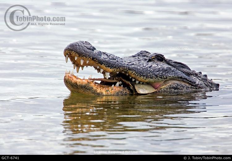 Alligator Eating Crab