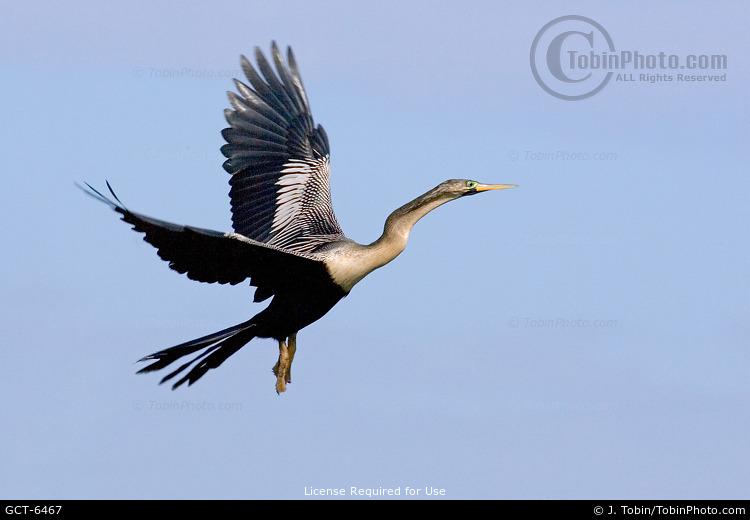 Flying Anhinga