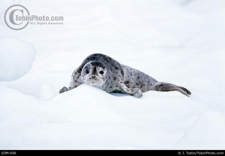 Baby Seal on Iceberg