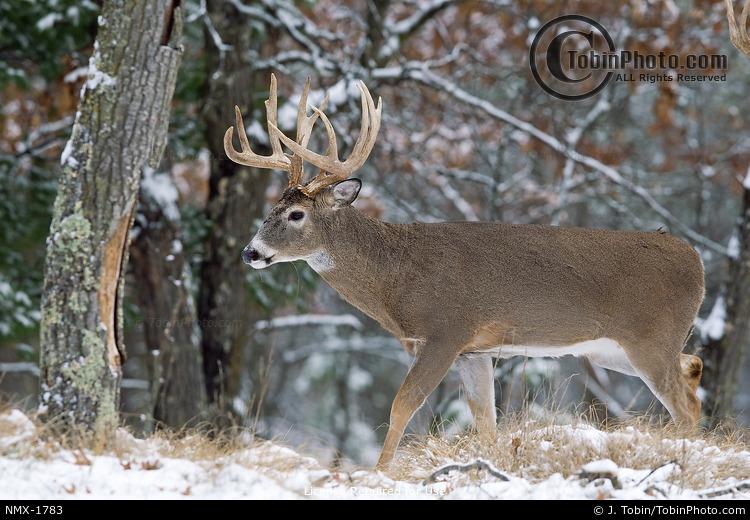 Buck Walking in Forest