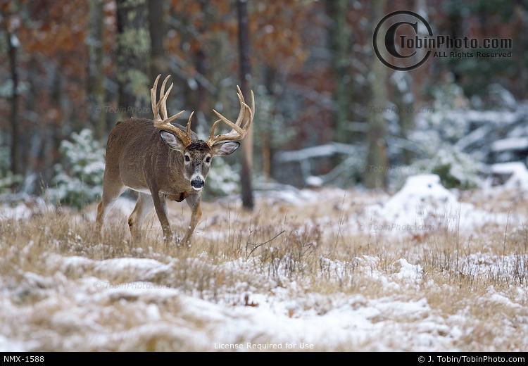 Buck Walking in Snow