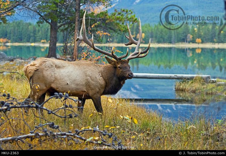 Elk Beside Lake