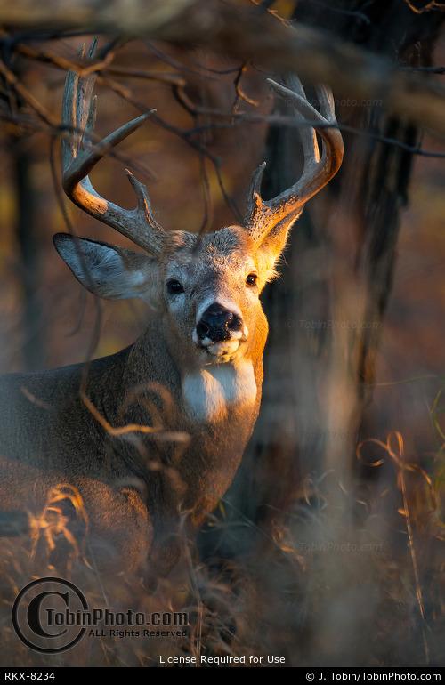 Big Whitetail Buck