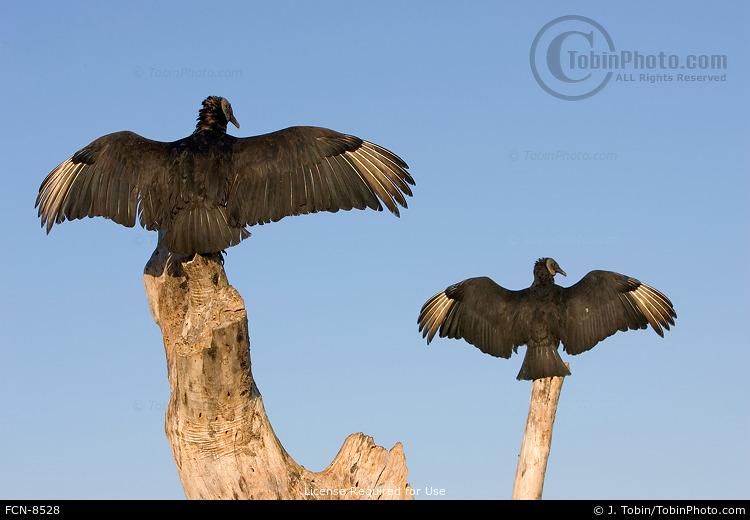 Black Vultures Basking