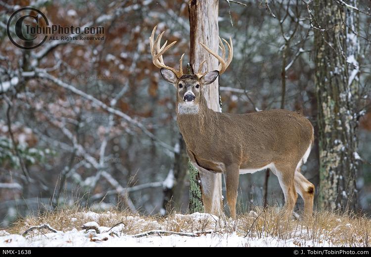 Buck After Snowstorm