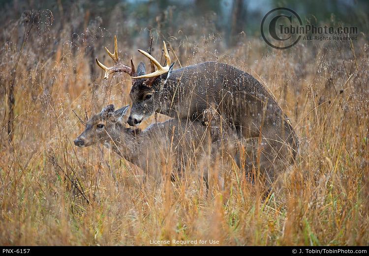 Buck Mounting a Doe