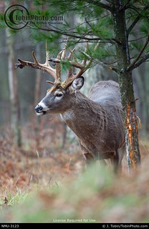 Buck at Rubbing Tree