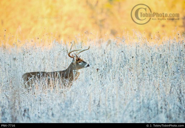 Deer in Frosty Grass