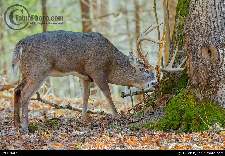 Deer Rubbing Tree
