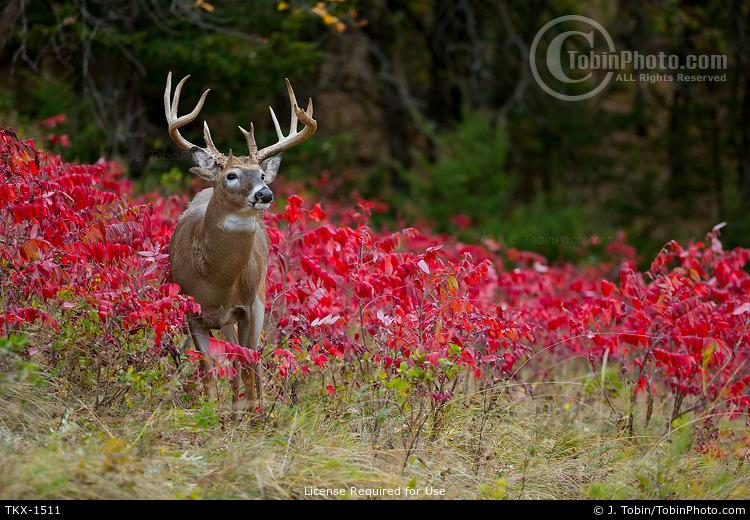 Whitetail Buck in Sumac