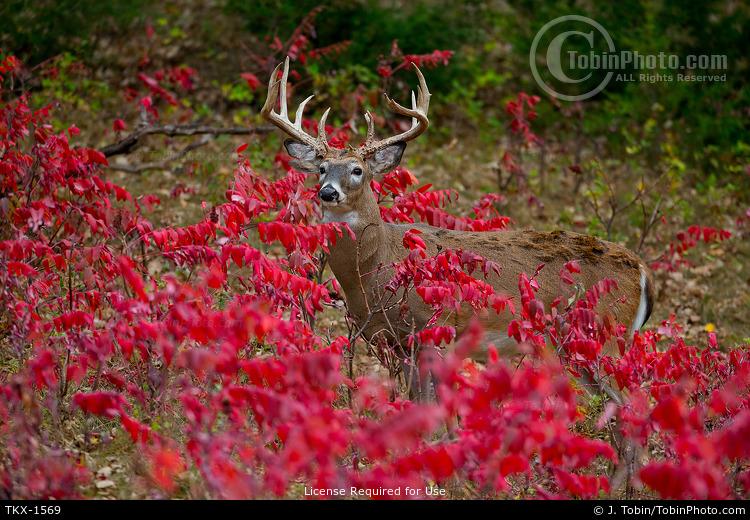 Buck in Red Sumac