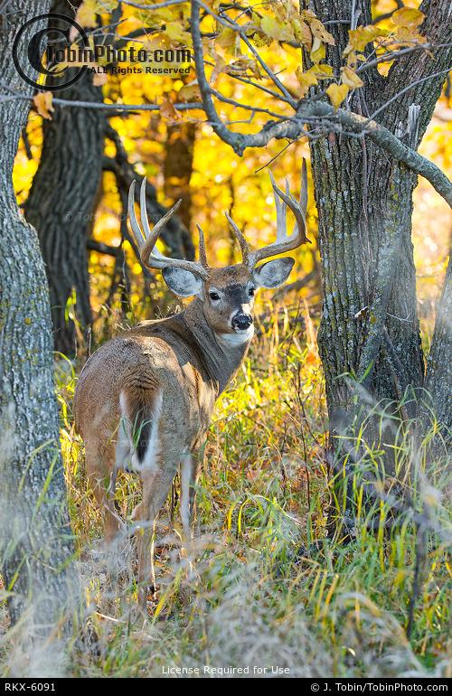 Deer & Fall Colors