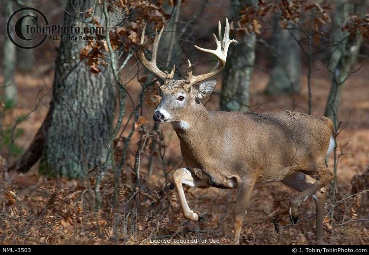Buck Running in Forest