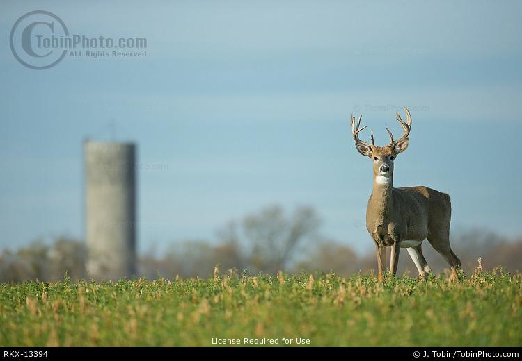 Whitetail Deer on Farm
