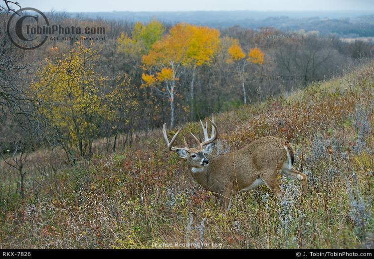 Big Buck & Fall Colors
