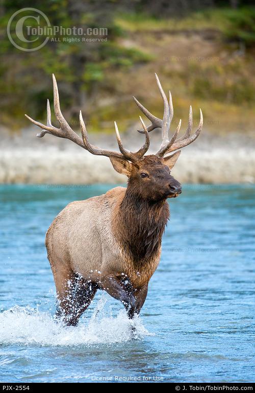 Bull Elk Crossing a River