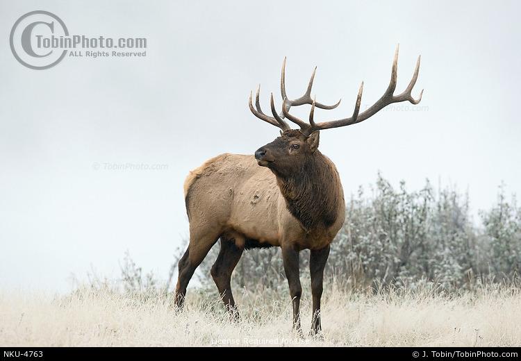Bull Elk in Fog