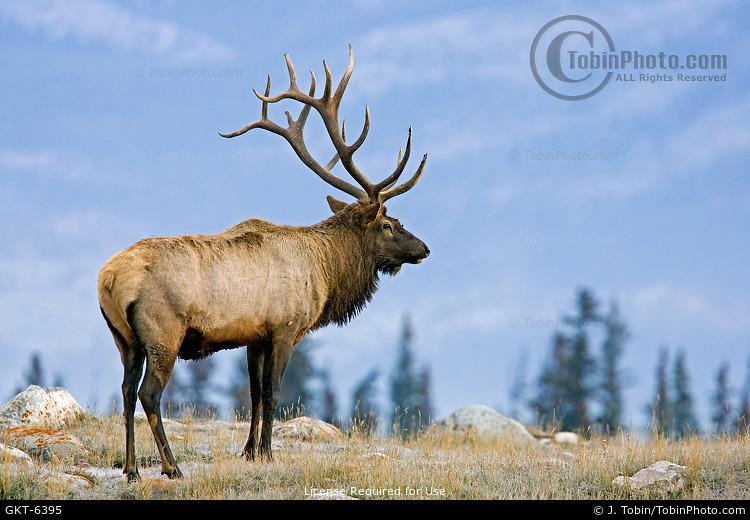 Bull Elk on Ridgetop