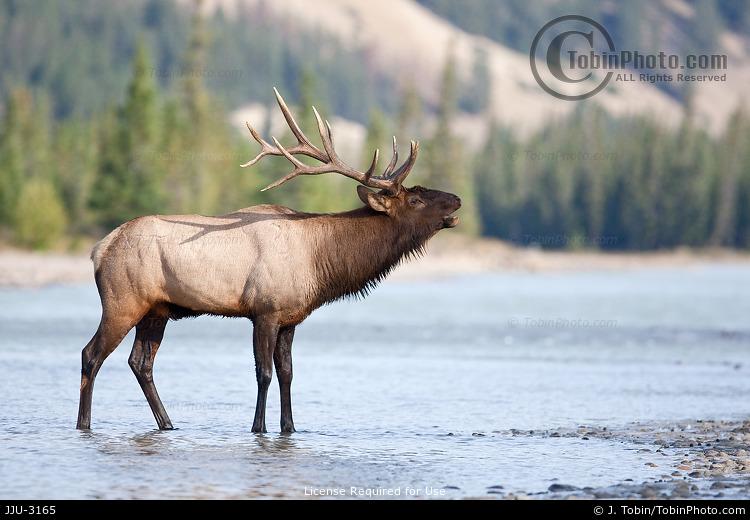 Elk Bugling in River