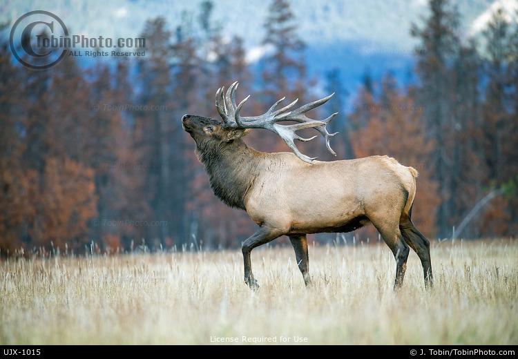 Elk Threat Behavior