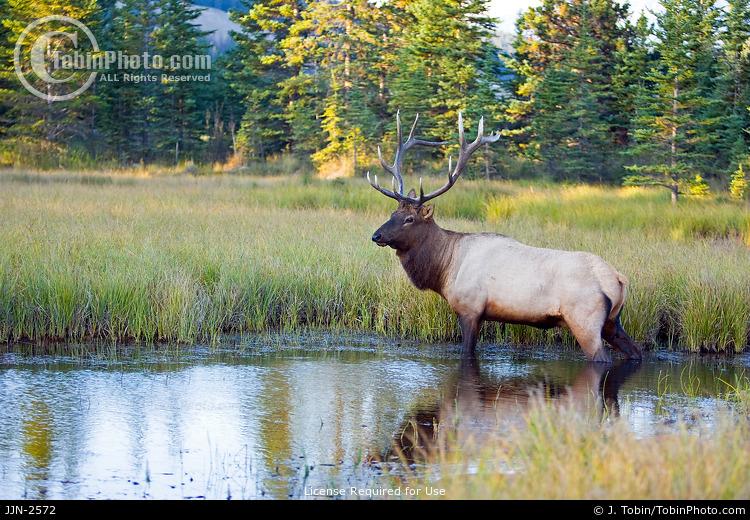 Bull Elk in Water