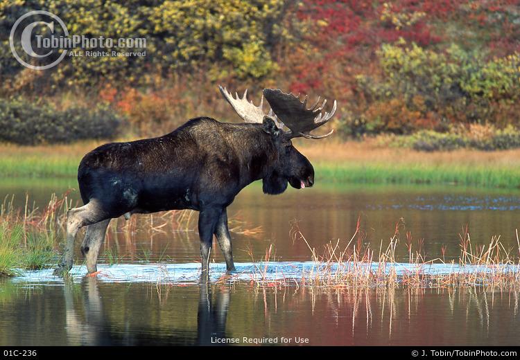 Bull Moose Crossing Lake