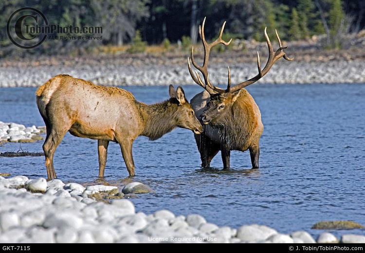 Cow & Bull Elk in River