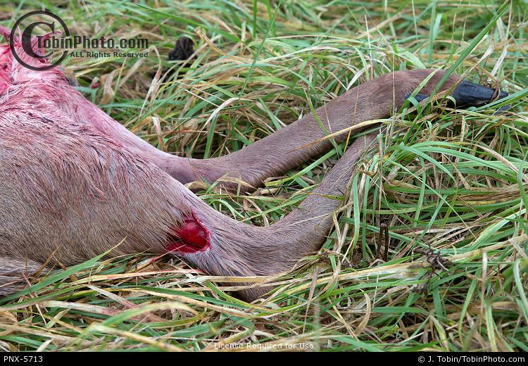 Coyote Killed Deer