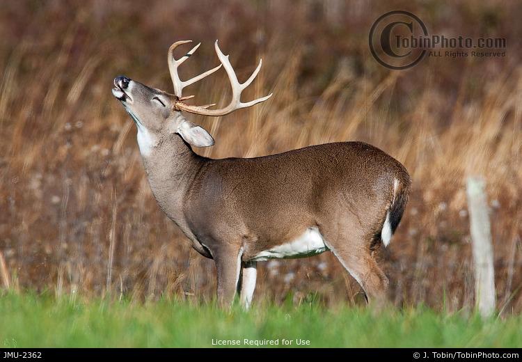 Deer Lip Curling