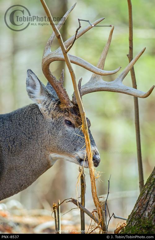 Deer Sniffing Rubbing Tree