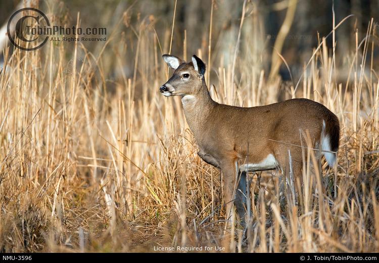 Doe Whitetail Deer