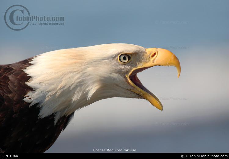 Eagle Calling