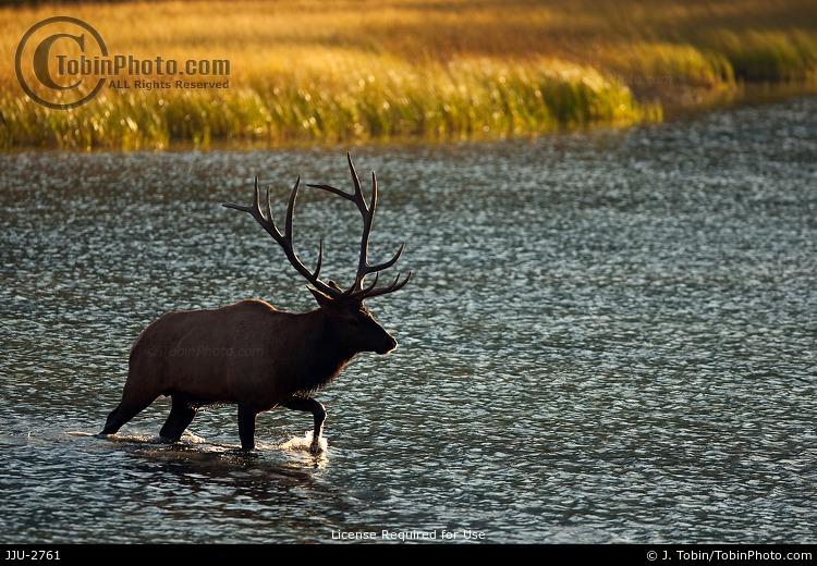 Elk Crossing a Lake