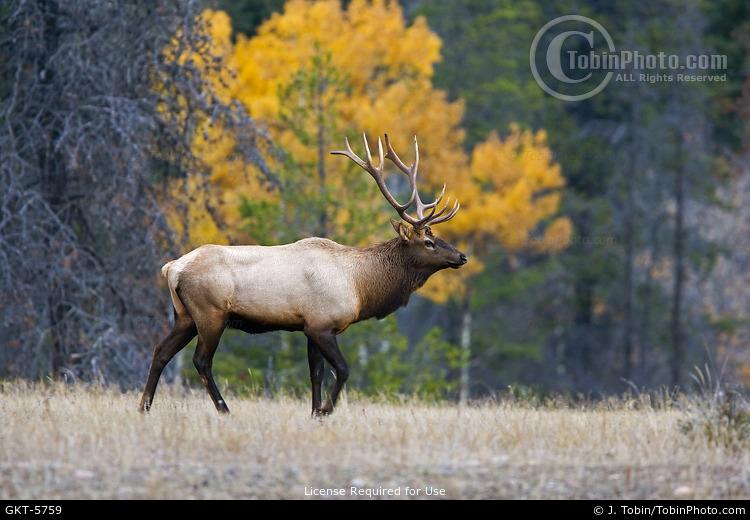 Elk & Fall Colors