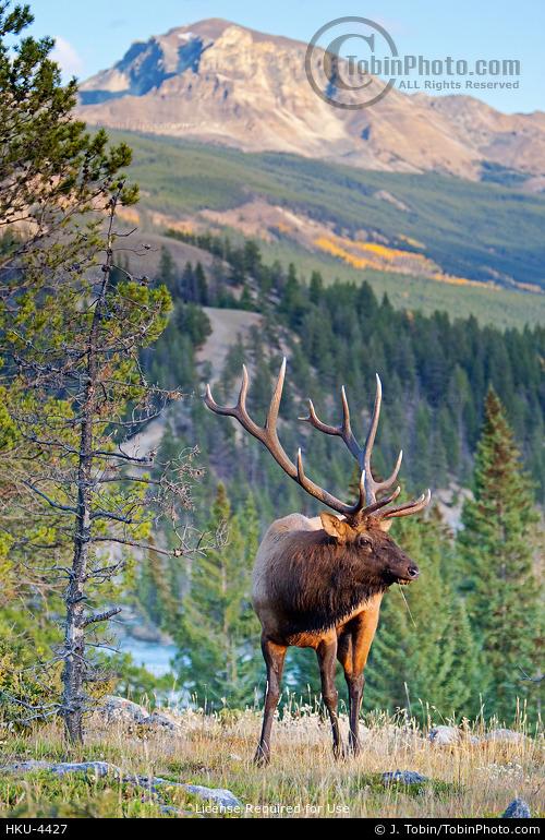 Elk in Mountain Scene