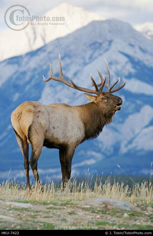 Elk & Mountains