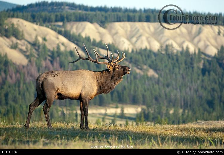 Elk on Ridge