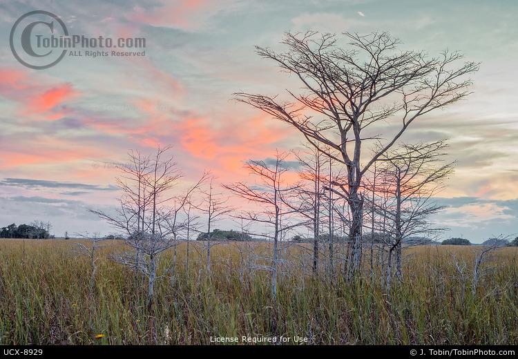 Everglades Dwarf Cypress