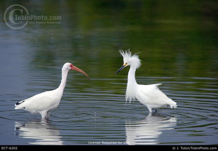 Ibis & Snowy Egret