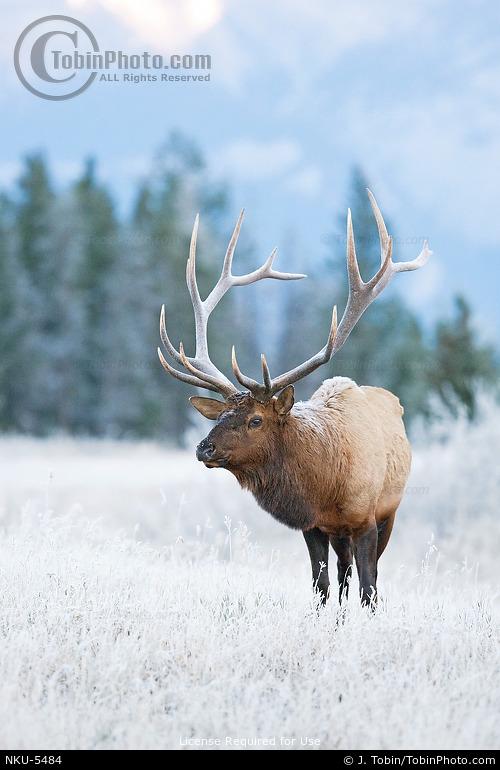 Frost Covered Bull Elk
