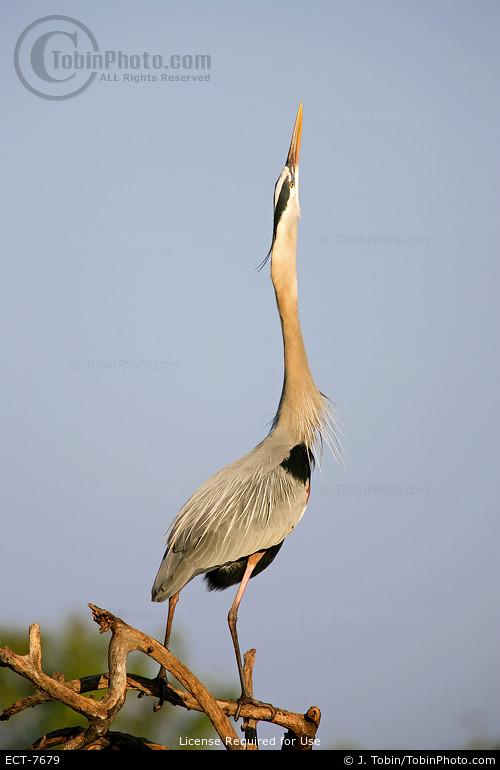 Heron Sky Pointing