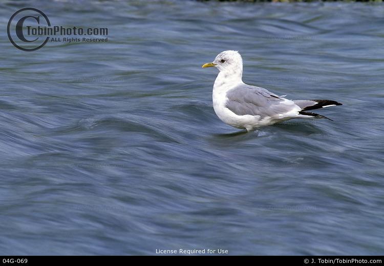 Gull in Water