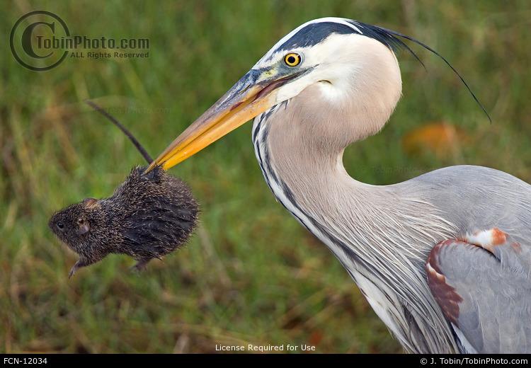 Heron Catching Rat