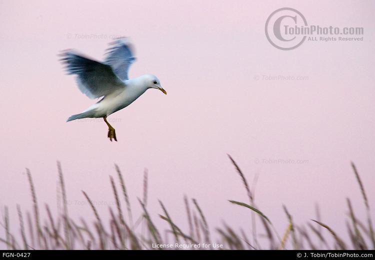 Mew Gull & Alpenglow