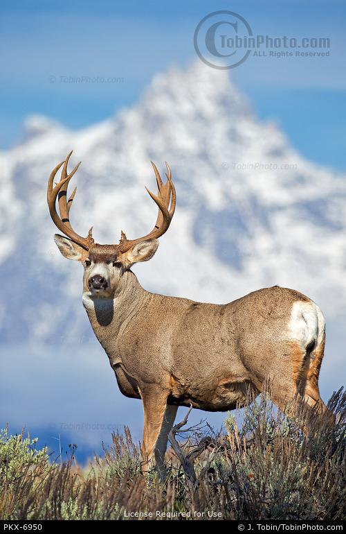 Mule Deer & Mountain