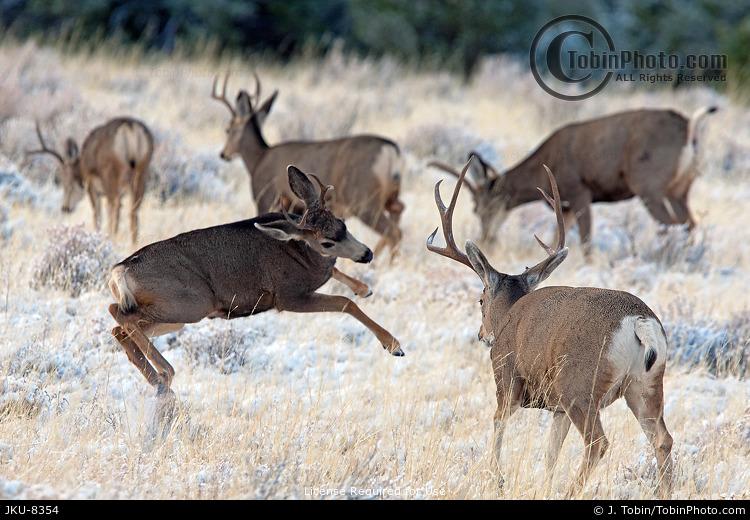 Mule Deer Playing