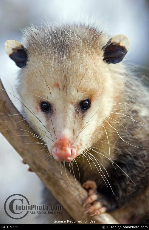 Opossum Close-Up